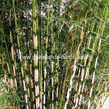 Fargesia sp yunnanensis www graines de bambous fr