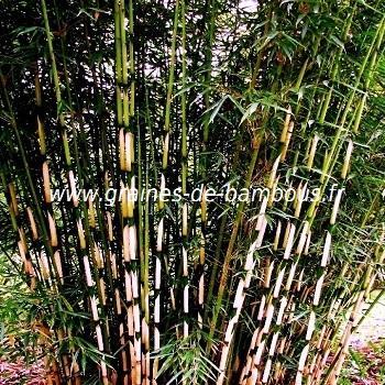 Fargésia sp.Yunnanensis 20 graines réf.150