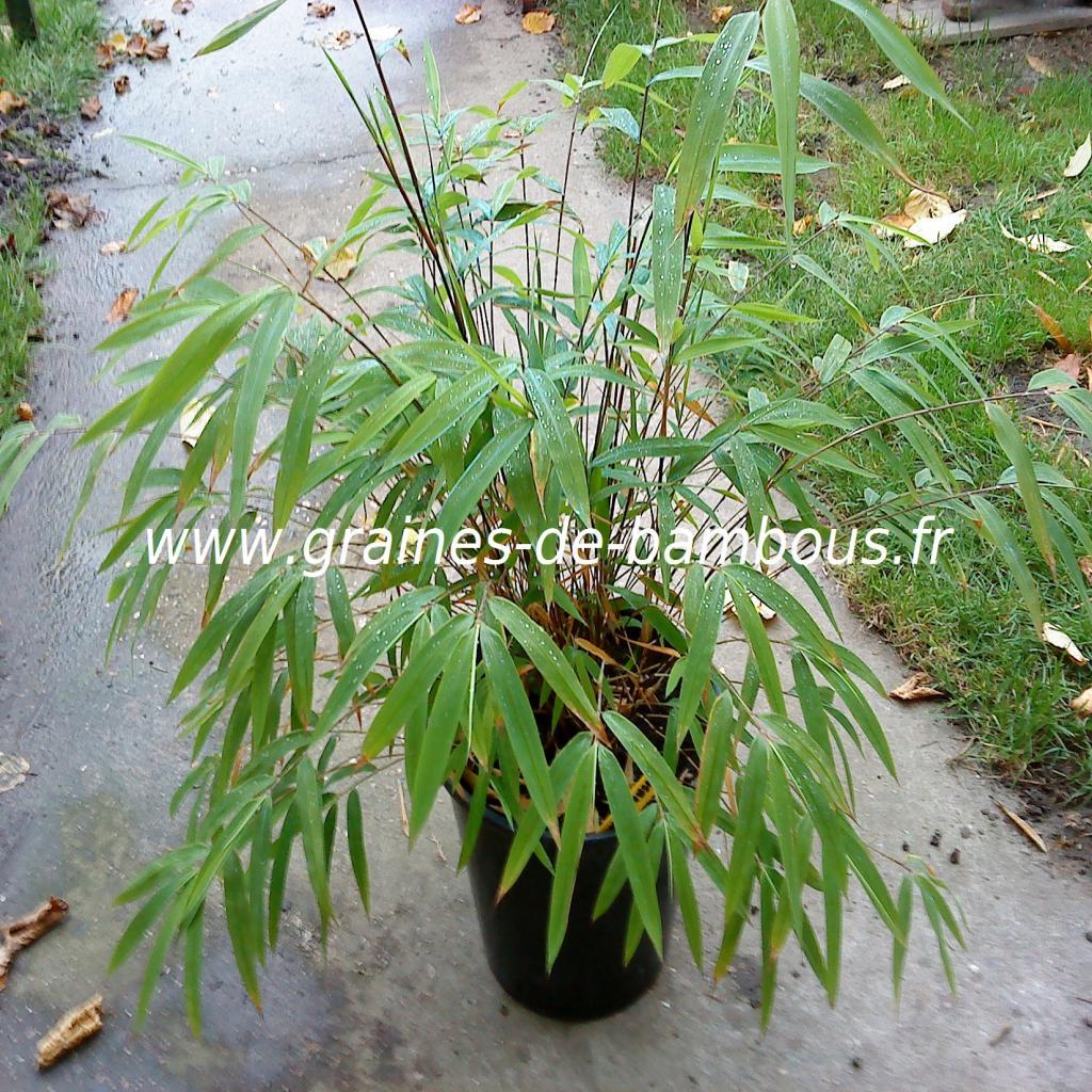 fargesia-yunnanensis-10.jpg