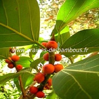 ficus-benghalensis-figuier-des-banyans-fruits-www-graines-de-bambous-fr.jpg