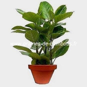 Ficus benghalensis ou figuier des banyans réf.530
