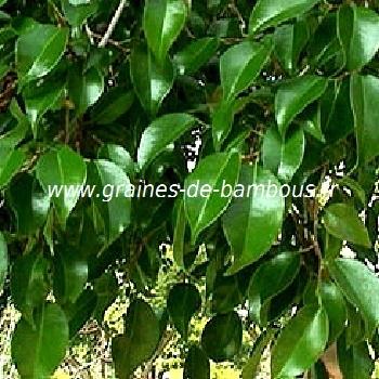 ficus-benjamina-figuier-pleureur-feuilles-www-graines-de-bambous-fr.jpg