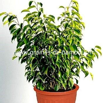 Ficus benjamina ou figuier pleureur réf.521