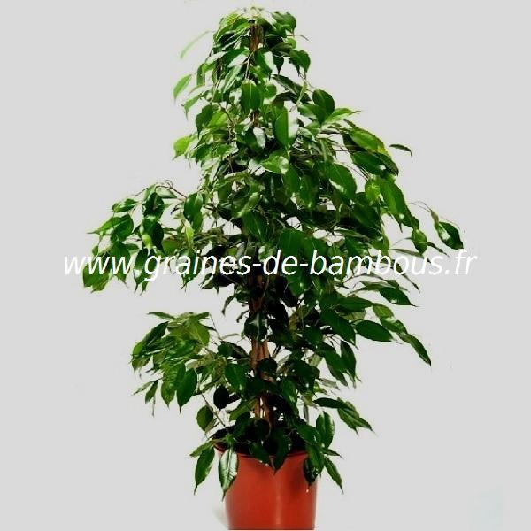 Ficus religiosa ou figuier sacré réf.407