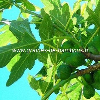 figuier-ficus-carica-fruit-www-graines-de-bambous-fr.jpg