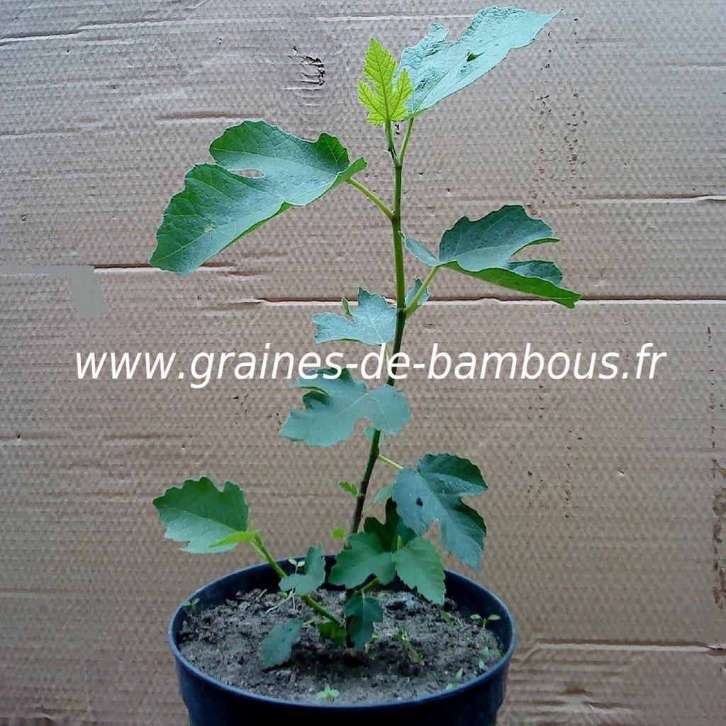 figuier-plant-ficus-carica-www-graines-de-bambous-fr.jpg