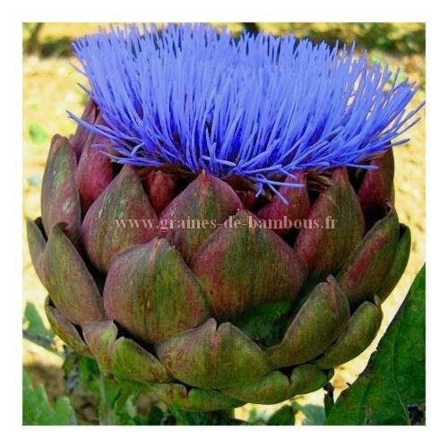Fleur artichaut violet