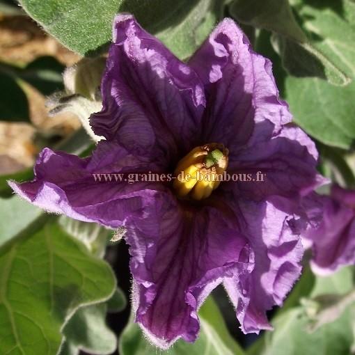 Fleur aubergine