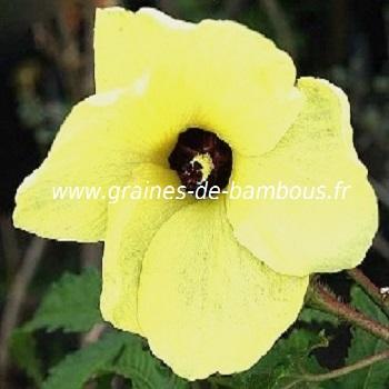 fleur-d-okra-www-graines-de-bambous-fr-1.jpg