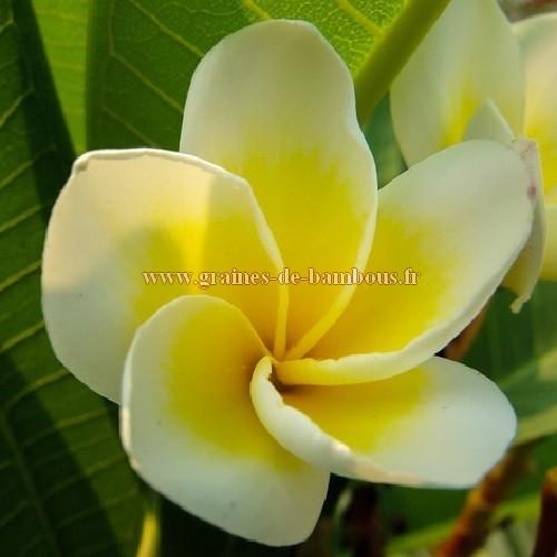 Fleur de frangipanier blanc et jaune