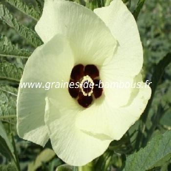 Gombo ou Okra Hibiscus variété verte réf.371