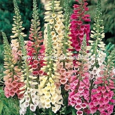 Fleur digitale