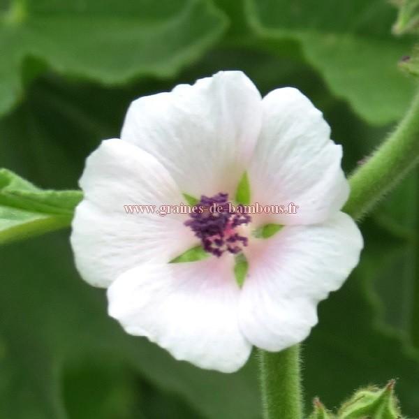 Fleur guimauve