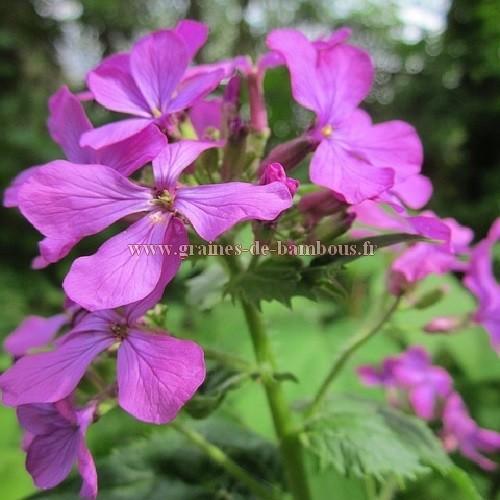 Fleur lunaria annua