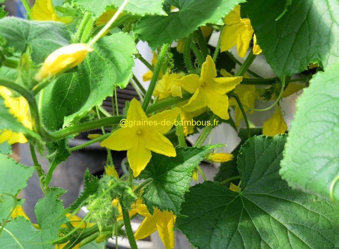 Fleurs concombre vert long de chine