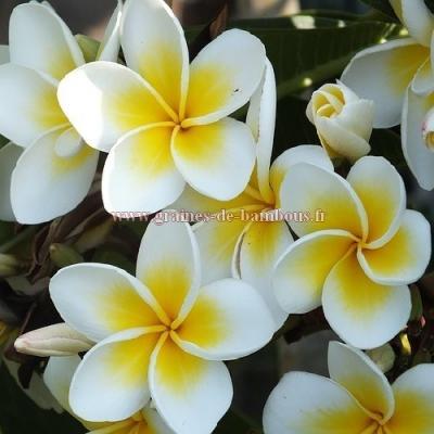 Plumeria ou frangipanier couleurs en mélange réf.744