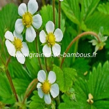 fraises-des-bois-fleurs-www-graines-de-bambous-fr.jpg