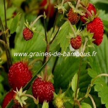 fraises-des-bois-fraisiers-www-graines-de-bambous-fr.jpg