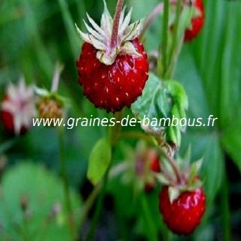 fraises-des-bois-www-graines-de-bambous-fr-1.jpg