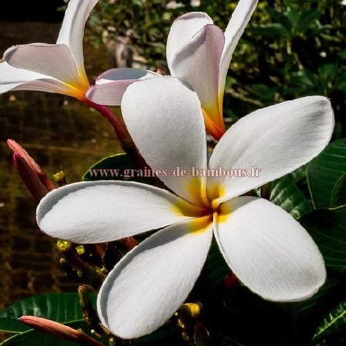 Frangipanier a fleur blanche