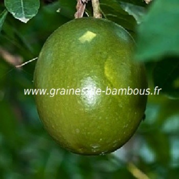 Fruit passiflore