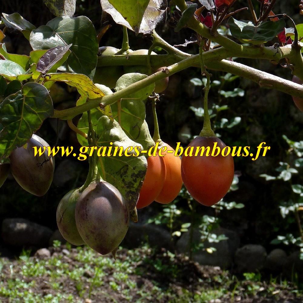 Fruit tamarillo arbre arbol graines de bambous fr