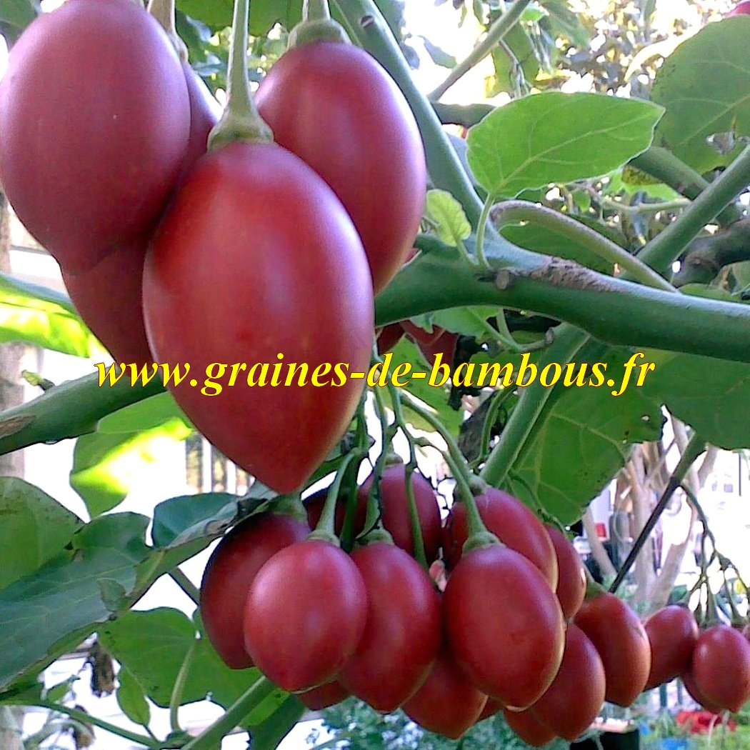 Fruit tomate arbol graines