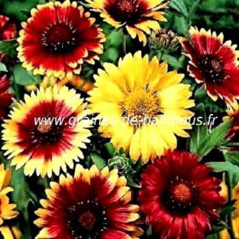Gaillarde fleur couleur variee mix