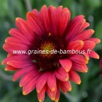 Gaillarde fleur variee en mix