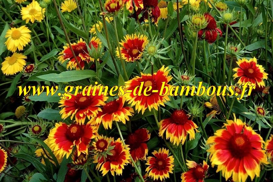 semences de gaillarde vivace fleur de couleur vari e. Black Bedroom Furniture Sets. Home Design Ideas