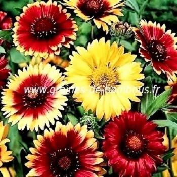 Gaillarde vivace à fleur variée réf.708