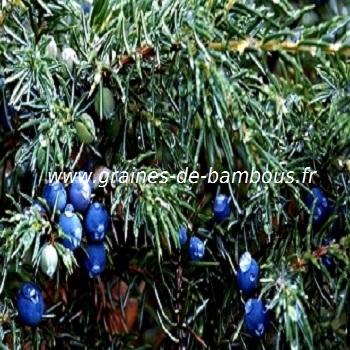 genevrier-a-baies-comestibles-juniperis-communis-www-graines-de-bambous-fr.jpg