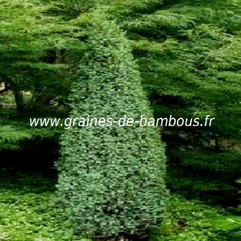 genevrier-juniperis-communis-www-graines-de-bambous-fr.jpg