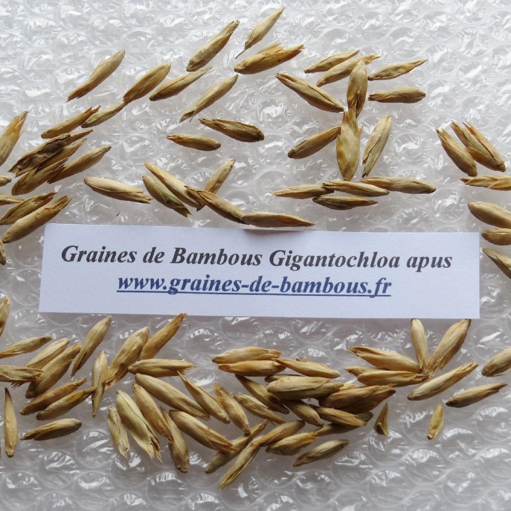 Gigantochloa apus graines