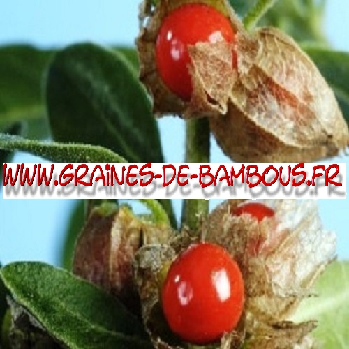 ginseng-indien-withania-somnifera-1000-graines-www-graines-de-bambous-fr.jpg