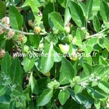 ginseng-indien-withania-somnifera-www-graines-de-bambous-fr-1.jpg