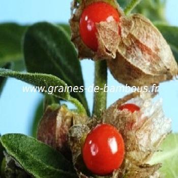 Ginseng Indien réf.379