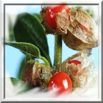 ginseng-indien-www-graines-de-bambous-fr-www-grainesdebambous-com.jpg