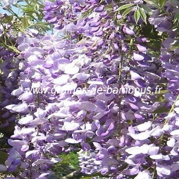 glycine-de-chine-bleue-wisteria-sinensis-www-graines-de-bambous-fr.jpg