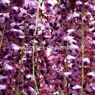 Glycine du japon fleurs