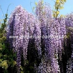 Glycine du japon wisteria floribunda