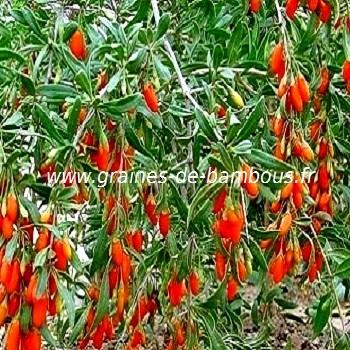 goji-lycium-barbarum-fruit-www-graines-de-bambous-fr.jpg