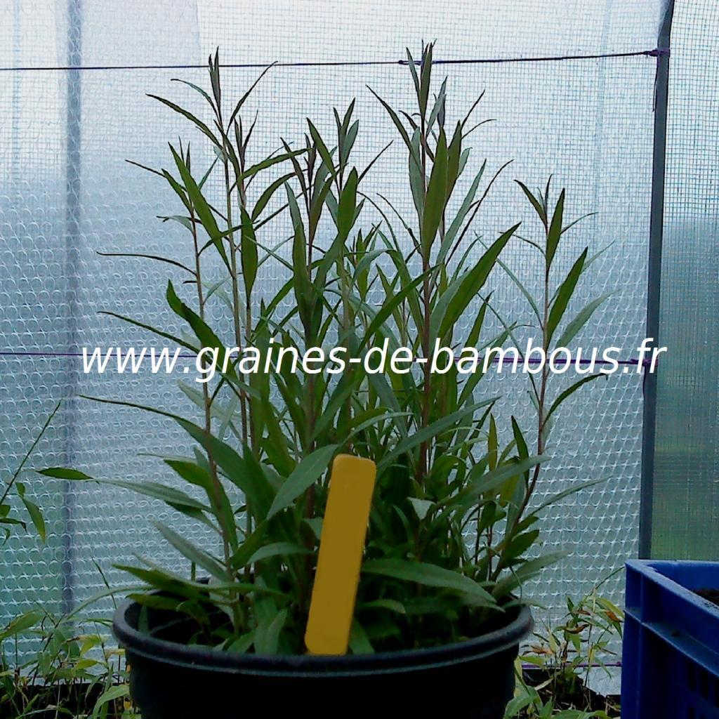 goji-lycium-barbarum-petits-plants-www-graines-de-bambous-fr.jpg