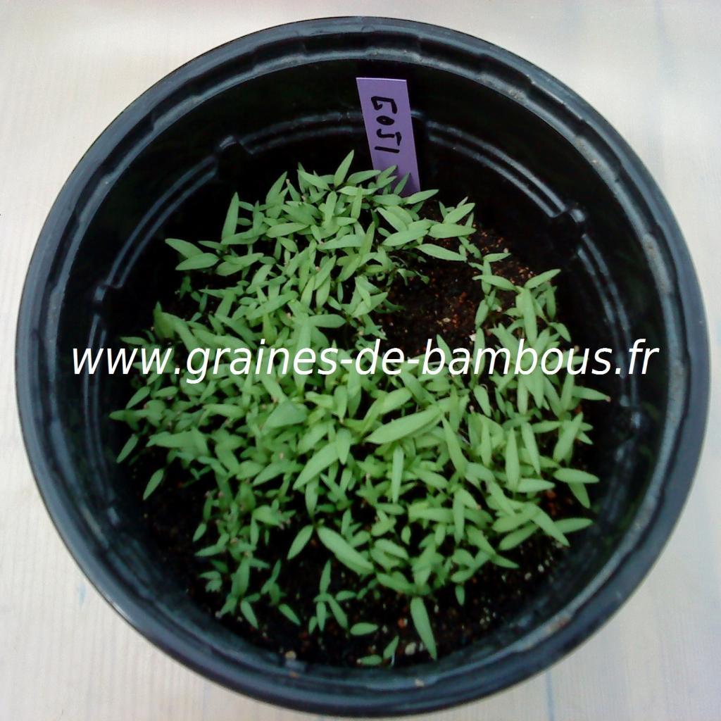 goji-lycium-barbarum-semis-www-graines-de-bambous-fr.jpg