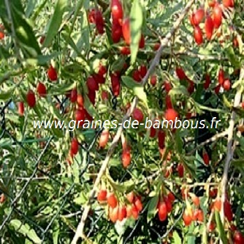 goji-lycium-barbarum-www-graines-de-bambous-fr.jpg