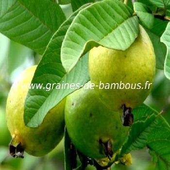 Goyavier pomme réf.526
