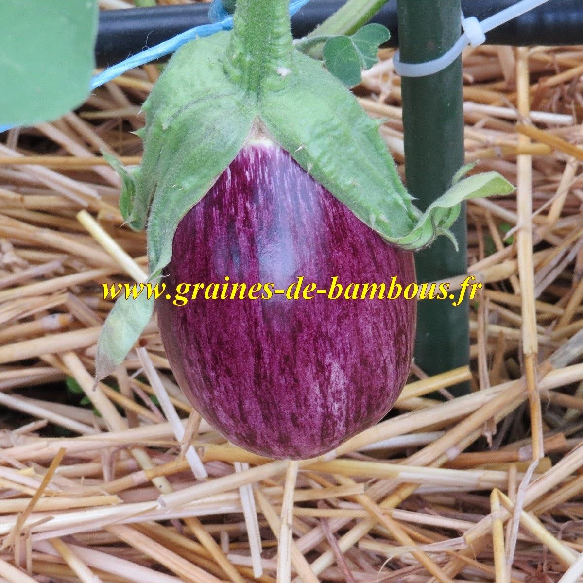 Graines aubergine tsakoniki fruit