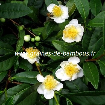 Graines camellia sinensis the vert theier
