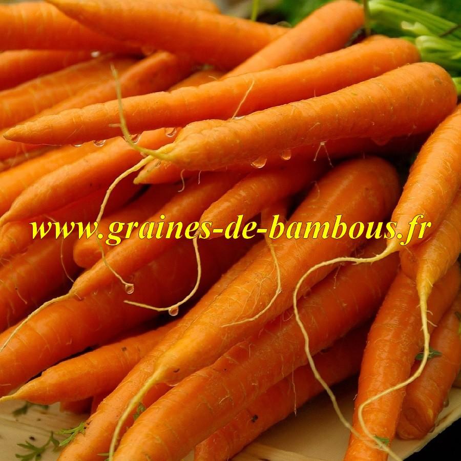 Graines carotte amsterdam sur notre site graines de bambous fr
