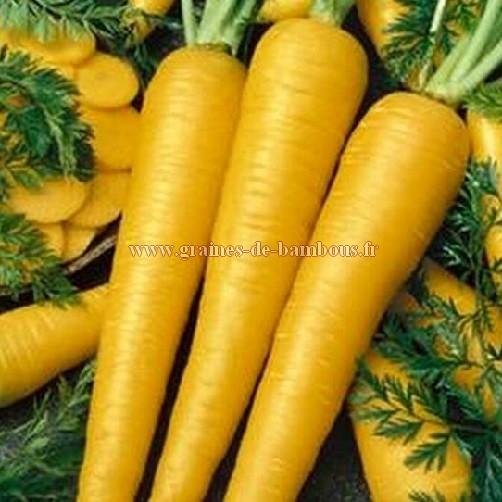 Graines carotte obtuse du doubs